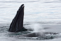 Humpback Whale feeding and other spouting