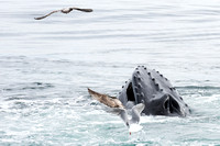 Humpback Whale attracting gulls