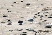 Least Tern, one with with egg, other with chick -- Hampton Beach SP, NH