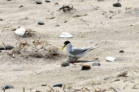 Least Tern sheltering chick -- Hampton Beach SP, NH