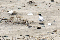 Least Tern with chick -- Hampton Beach SP, NH
