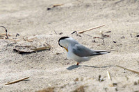 Least Tern preening -- Hampton Beach SP, NH