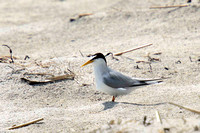 Least Tern -- Hampton Beach SP, NH