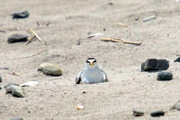 Least Tern nesting -- Hampton Beach SP, NH