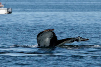 Humpback Whale with damaged right fluke