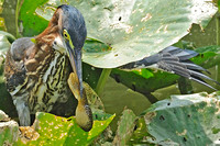 juvenile Green Heron with tadpole