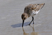 Dunlin (juvenile >> first winter)