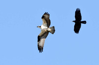 Osprey with fish being harassed by American Crow