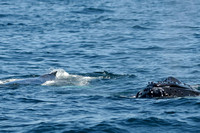 Humpback Whales--unknown & Chickadee