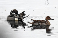 Northern Pintail (m&f)
