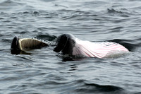 Sei Whale skim feeding on its side with mouth open