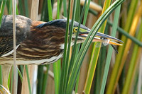 juvenile Green Heron with Blue Dasher