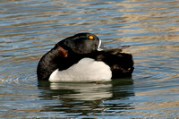 Ring-necked Duck's neck ring
